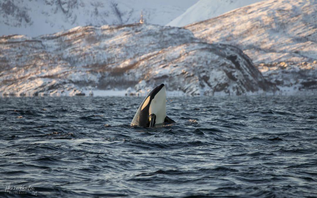 orka kijkt omhoog in blauwe water in Noorwegen
